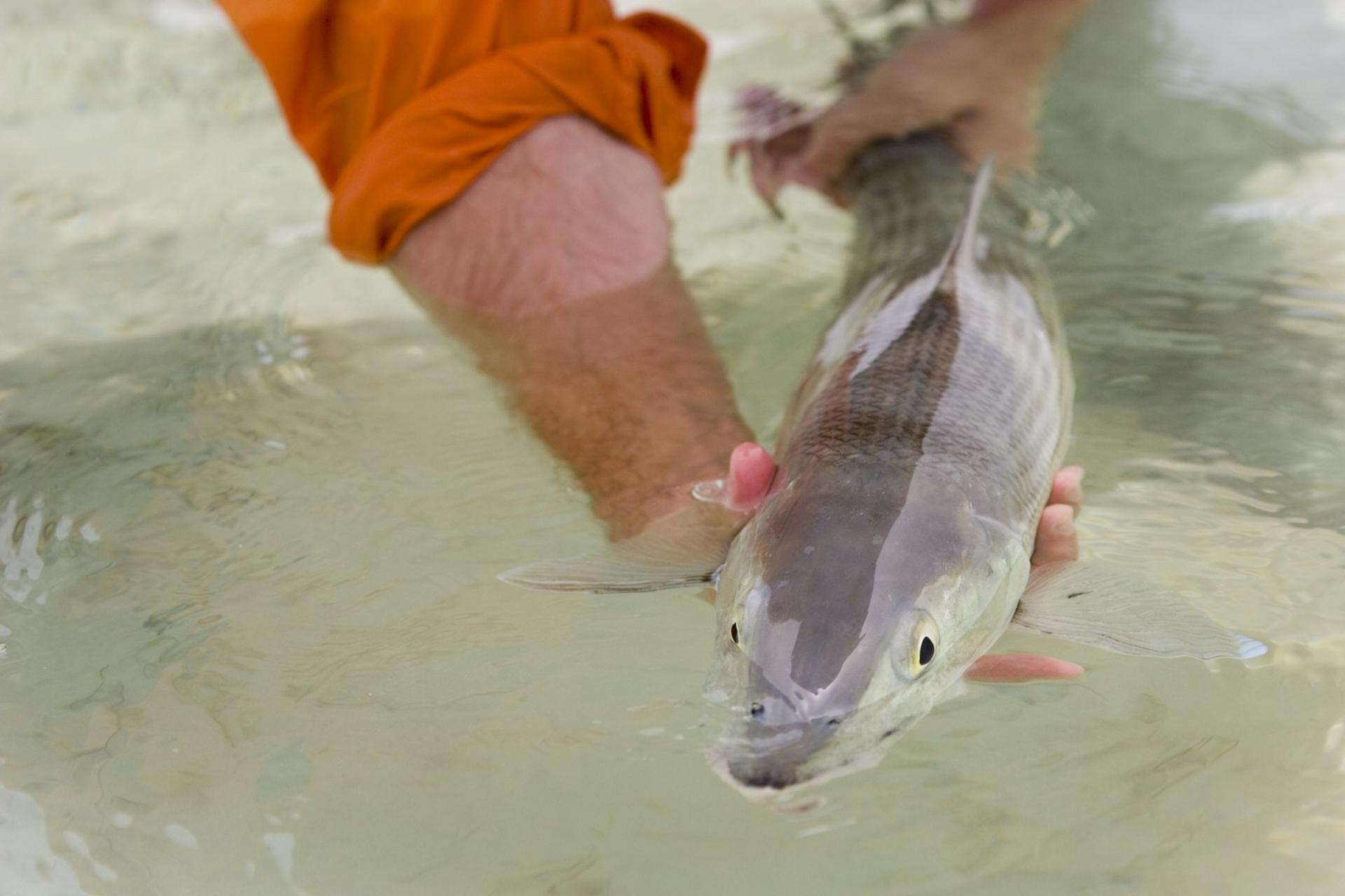 bair's bonefish